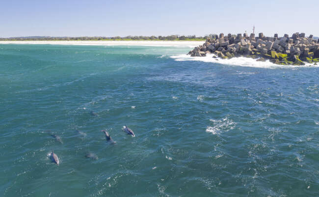 Dolphin pod, Richmond River Ballina